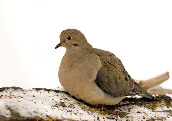 """<div class=""""jaDesc""""> <h4>Mourning Dove on Perch - January 17, 2008 </h4> <p>  The Mourning Doves have been very cautious coming in lately because a Kestrel has been hunting in our feeder area periodically.  All the birds know to hide when it is around.</p> </div>"""