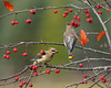 """<div class=""""jaDesc""""> <h4> Immature Ceadr Waxwing with Crabapple</h4> <p></p> </div>"""