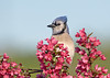 "<div class=""jaDesc""> <h4> Juvenile Blue Jay in Flowering Tree </h4> </div>"