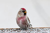 """<div class=""""jaDesc""""> <h4> Adult Male Redpoll at Thistle Seed Tray - February 2, 2013 </h4> <p>I have found that I can entice many more Redpolls to stick around by building a 3 foot square tray made from screen material.  I spread the thistle seed out over the 9 square feet of surface.  There have been as many as 100 Redpolls on it at once.  It is easy to clean unused or wet seed off every few days which is important in control of disease that can spread among birds that feed close together.</p> </div>"""