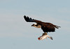 """<div class=""""jaDesc""""> <h4> Thinking About Turning in Land Toward the Nest - April 15, 2012</h4> <p> This was one of a pair of Ospreys that were taking turns catching fish and returning to the nest to feed their chicks.</p> </div>"""
