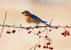 "<div class=""jaDesc""> <h4> Male Bluebird with Crabapple</h4> </div>"