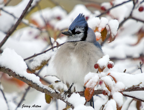 "<div class=""jaDesc""> <h4> Blue Jay in Snowy Tree </h4> </div>"