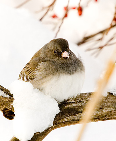 "<div class=""jaDesc""> <h4> Dark-eyed Junco Fluffed on a Cold Morning</h4> </div>"