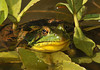 """<div class=""""jaDesc""""> <h4> Green Frog Hiding - September 18, 2010 - Video Attached</h4> <p>  While I was working at our water garden pond this afternoon, this Green Frog was keeping a close watch on my movements. He was so well hidden among the bog bean leaves that I did not even notice him at first.</p> </div> <center> <a href=""""http://www.youtube.com/watch?v=XhtlEDgeJuU""""  style=""""color: #0000FF"""" class=""""lightbox""""><strong> Play Video</strong></a>"""