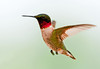 """<div class=""""jaDesc""""> <h4>Male Ruby-throated Hummingbird Hovering - May 28, 2012</h4> <p> This little fella arrived May 3rd.  It has taken me this long to get a decent shot of him.  The female arrived May 23rd.  We now have lots of squeaky chasing going on.  I have not seen any courtship flight yet.</p> </div>"""