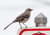 """<div class=""""jaDesc""""> <h4> Mockingbird on No Parking Sign - April 14, 2012</h4> <p> As I was parking my truck by the bay at Virginia Beach, VA I noticed this Mockingbird perched on a No Parking sign next to the parking lot.  He stayed in that location while I got my camera out and took this photo.</p> </div>"""
