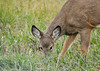 """<div class=""""jaDesc""""> <h4>White-tailed Yearling Grazing - November 9, 2012 </h4> <p> I was driving around the main pool at the Montezuma Wildlife Refuge when this yearling White-tailed Deer ran across the road and grazed right next to my truck.  She definitely had her eye on me but did not seem to mind me taking her picture.</p> </div>"""