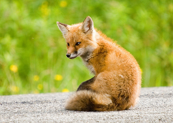 "<div class=""jaDesc""> <h4> Young Red Fox Watching Bee</h4> </div>"