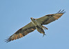 """<div class=""""jaDesc""""> <h4> Osprey Overhead with Fish - September 5, 2012 </h4> <p> This Osprey had been perched high up on a utility wire for over an hour surveying the Susquehanna River just below the Conowingo Dam in Maryland.  I missed the take-off and dive, but caught her as she flew by with her catch.</p> </div>"""