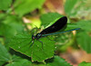 """<div class=""""jaDesc""""> <h4> Male Ebony Jewelwing Dragonfly - June 18, 2010 </h4> <p>  This brilliant iridescent green male Ebony Jewelwing dragonfly would perch in sunny spots along a wooded trail. Sometimes he would appear iridescent blue depending on how the light hit him.</p> </div>"""