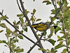 """<div class=""""jaDesc""""> <h4> Magnolia Warbler in Treetop - May 15, 2010 </h4> <p> This male Magnolia Warbler tormented me by flitting around in tall pine trees, singing but not showing himself.  He finally flew to the top of a maple tree where I could at least get a distant photo.  He alternated between catching bugs and singing.</p> </div>"""