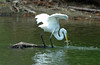 "<div class=""jaDesc""> <h4> Great Egret Balanced Retrieval - August 2006 </h4> </div>"