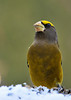 """<div class=""""jaDesc""""> <h4>Male Evening Grosbeak Looking Proud - December 23, 2012 </h4> <p>This may be one of this year's immature male Evening Grosbeaks.  He is the only one of the group that has such a dark breast, and he tended to defer to the other birds.</p> </div>"""