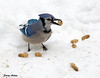 "<div class=""jaDesc""> <h4>Blue Jay Breakfast - December 19, 2009 - Video Attached </h4> <p>  Our 2 dozen Blue Jays are very spoiled.  I put out a quart of unshelled peanuts every morning.  Within about 10 minutes, they are all gone.  After selecting just the right one, they fly off with them and stash them at their cache locations.</p> </div> </br> <center> <a href=""http://www.youtube.com/watch?v=ELT5_1XIwBg"" class=""lightbox""><img src=""http://d577165.u292.s-gohost.net/images/stories/video_thumb.jpg"" alt=""""/></a> </center>"