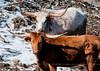"""<div class=""""jaDesc""""> <h4> Texas Longhorn Cattle - January 27, 2013</h4> <p></p> </div>"""