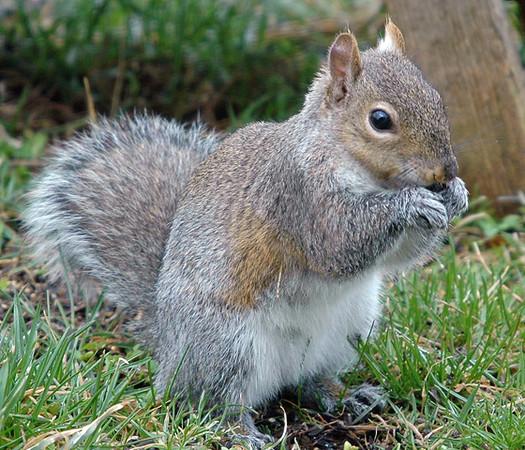 "<div class=""jaDesc""> <h4> Gray Squirrel Eating Seeds</h4> </div>"