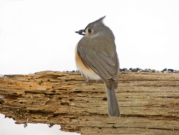 """<div class=""""jaDesc""""> <h4> Tufted Titmouse with Sunflower Seed</h4> <p></p> </div>"""