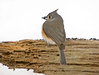 "<div class=""jaDesc""> <h4> Tufted Titmouse with Sunflower Seed</h4> <p></p> </div>"