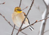 """<div class=""""jaDesc""""> <h4> Goldfinch with Yellow Necklace - January 13, 2012</h4> <p>  This male Goldfinch is just starting to get some of his summer plumage around his neck area.</p> </div>"""