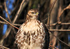 """<div class=""""jaDesc""""> <h4> Immature Red-tailed Hawk Close-up - January 3, 2011  </h4> <p>  Inspecting this close-up it appears this immature Red-tailed Hawk may have just finished a meal. He has some reddish stains on his beak.</p> </div>"""