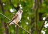 """<div class=""""jaDesc""""> <h4> Female American Kestrel Hunting - August 20, 2012 </h4> <p> A pair of Kestrels hang out on the utility wires above some open fields about a mile from my house.  Whenever I slow my truck down to try and get a photo, they fly off down the road several hundred feet.  Today, the female was a bit slower than normal and I managed a few quick shots.</p> </div>"""