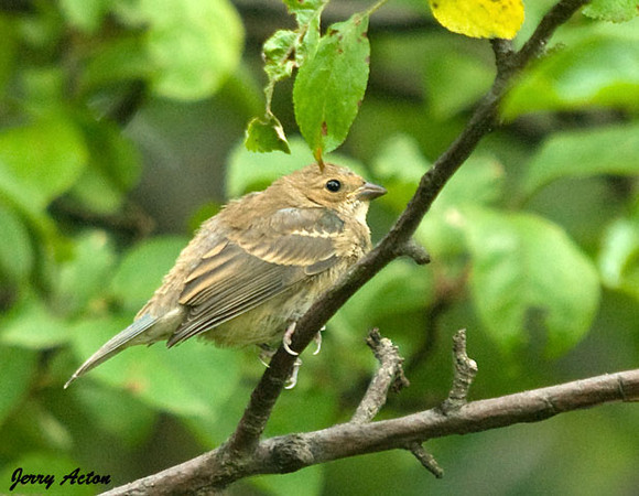 """<div class=""""jaDesc""""> <h4>Immature Female Pine Warbler on Tree Branch - July 21, 2009</h4> <p>  I have only seen Pine Warblers one time all summer.  This one surprised me while I was trying to get shots of a Catbird.</p> </div>"""