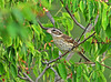 """<div class=""""jaDesc""""> <h4> Female Rose-breasted Grosbeak in Serviceberry Tree - June 5, 2010 </h4> <p> This female Rose-breasted Grosbeak likes to stop in the serviceberry tree on her way in for sunflower seeds.  She is not interested in eating the serviceberries.</p> </div>"""