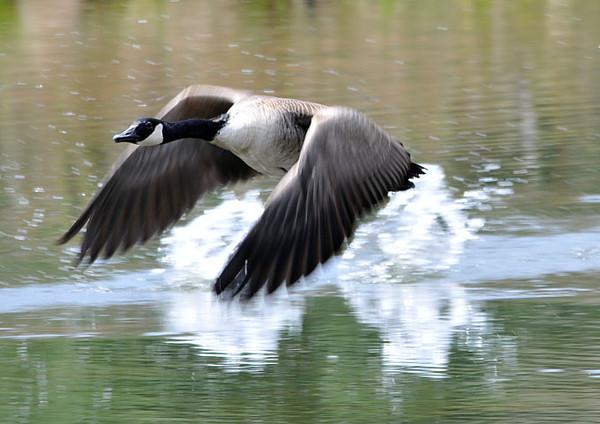 """<div class=""""jaDesc""""> <h4> Canada Goose Take-off</h4> </div>"""