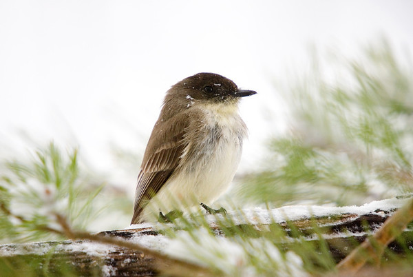 """<div class=""""jaDesc""""> <h4>Phoebe Requesting Mealworms - April 16, 2007 </h4> <p>We got hit with a 2nd snowfall this Spring.  The poor Phoebes were having a hard time finding any bugs to eat.</p> </div>"""