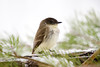 "<div class=""jaDesc""> <h4>Phoebe Requesting Mealworms - April 16, 2007 </h4> <p>We got hit with a 2nd snowfall this Spring.  The poor Phoebes were having a hard time finding any bugs to eat.</p> </div>"