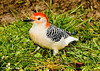 "<div class=""jaDesc""> <h4> Male Red-bellied Woodpecker Looking for Peanut in Grass </h4> <p></p> </div>"