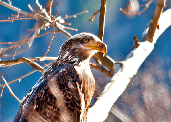 """<div class=""""jaDesc""""> <h4> Immature Bald Eagle in Tree Beside Road - January 27, 2013 </h4> <p> I took an Eagle trip with members of the Owego Bird Club group today around the Cannonsville Reservoir and along the east and west branches of the Delaware River.  We were pleased to see a total of 18 Bald Eagles: 15 immatures and 3 adults.   This immature bird is starting to show some white on his head and the black in the beak is starting to fade.</p> </div>"""
