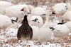 """<div class=""""jaDesc""""> <h4> Snow Geese Looking at Me - White & Dark Morph - February 29, 2012 </h4> <p> As I was panning through the 200 Snow Geese in the flock, I noticed these two looking straight at me. I liked the contrast between the standard Snow Goose and the Dark Morph. I was surprised that these wild birds allowed me to get so close.</p> </div>"""