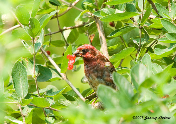 "<div class=""jaDesc""> <h4> Immature Male Purple Finch Eating Honeysuckle Berry</h4> <p></p> </div>"