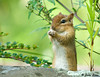"<div class=""jaDesc""> <h4> Chipmunk Sitting Up</h4> </div>"
