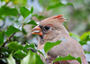 """<div class=""""jaDesc""""> <h4>Immature Female Cardinal Eating Safflower Seed - October 20, 2012 </h4> <p>This year's immature female Cardinal was enjoying one of her favorites - a safflower seed.  I put safflower seeds out primarily for the Cardinals.  The Mourning Doves love them too. </p> </div>"""