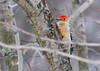 """<div class=""""jaDesc""""> <h4> Male Red-bellied Woodpecker - Front View - January 1, 2012 </h4> <p>I don't always get to see the reddish belly on these guys, but he shifted to another location and gave me a front view.</p> </div>"""