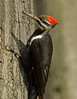 "<div class=""jaDesc""> <h4> Female Pileated Woodpecker on Tree Trunk</h4> </div>"