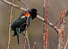 """<div class=""""jaDesc""""> <h4>Male Red-winged Blackbird in Serviceberry Tree - March 19, 2010</h4> <p> This male Red-winged Blackbird landed on a young sprig in our serviceberry tree.  He has his tail straight down to assist with his balance because the sprig was swaying with his weight.</p> </div>"""