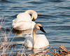 """<div class=""""jaDesc""""> <h4> Pair of Trumpeter Swans - April 5, 2013</h4> <p>  As I drove around the main pool at Montezuma Wildlife Refuge, I was disappointed to see no birds out across the expanse of open water.  But a few minutes later, I came upon this Trumpeter Swan pair dabbling among the cattails right next to the road.  They did not seem flustered at all by my presence; I was in my truck with the window down.</p> </div>"""
