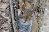 """<div class=""""jaDesc""""> <h4> Gray Squirrel Says Hi - February 7, 2013 </h4> <p> This curious Gray Squirrel stopped to say hi on his way up the tree.</p> </div>"""