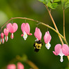 "<div class=""jaDesc""> <h4> Bumblebee on Bleeding Heart</h4> </div>"