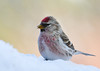 """<div class=""""jaDesc""""> <h4> Male Redpoll in Snow - January 2, 2013 </h4> <p>Over the past week, we have been progressively getting more Redpolls each day.  This morning we had over 50 spread out in the front and back yards.  This male posed nicely for me.</p> </div>"""