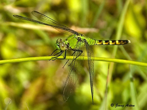 "<div class=""jaDesc""> <h4> Female Eastern Pondhawk Dragonfly on Stalk - June 28, 2009 </h4> <p>  </p> </div>"