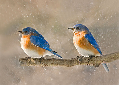 "<div class=""jaDesc""> <h4> Bluebirds in Snow Squall</h4> </div>"