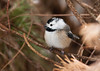 """<div class=""""jaDesc""""> <h4>Lucy Staying Out of Wind - Leucistic Chickadee - January 19, 2012 </h4> <p> The wind was blowing about 25 MPH this afternoon.  Between visits to the feeders, Lucy would tuck down inside the mugo pine bushes where she was protected from the wind.  I was able to manage an unobstructed shot through the branching. </p> </div>"""