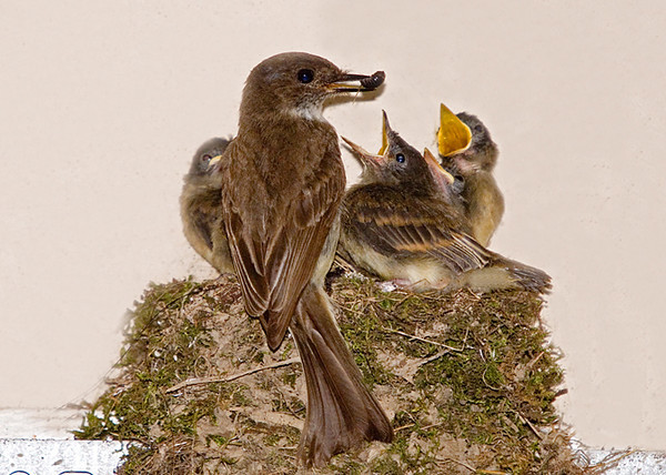 """<div class=""""jaDesc""""> <h4> Male Phoebe Waiting for a Mate - July 17, 2008 </h4> <p>  It is easy to see why the second round of Phoebe chicks are growing fast when they get fed large juicy portions like this.  Mom and dad are making food runs all day long.  I have to wait only about 5 minutes between feeding photo opportunities like this one.</p> </div>"""