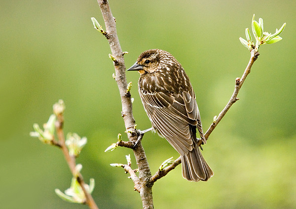 """<div class=""""jaDesc""""> <h4>Female Red-winged Blackbird in Pear Tree - April 23, 2008</h4> <p>  The pear tree in our yard is starting to show some leaves.  This female Red-winged Blackbird made a nice additional ornament.</p> </div>"""