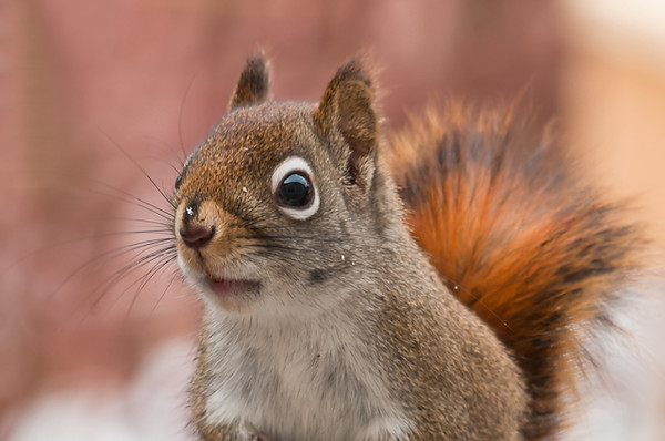 """<div class=""""jaDesc""""> <h4> Red Squirrel Close-up - February 3, 2013 </h4> <p> This little guy had a close encounter with our dog Coby this morning.  Fortunately he squeezed through the fence just in the nick of time.</p> </div>"""